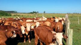 p5-bovinos